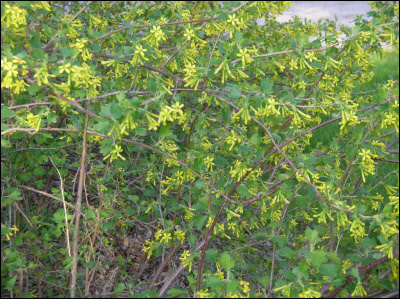 Clove currant golden currant ribes aureum heritage flower farm ribes mightylinksfo