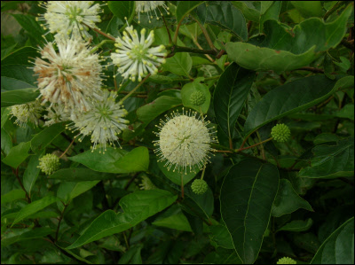 Button Bush Cephalanthus Occidentalis Heritage Flower Farm