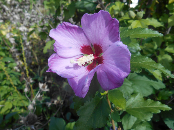 Rose Of Sharon Hibiscus Syriacus Heritage Flower Farm