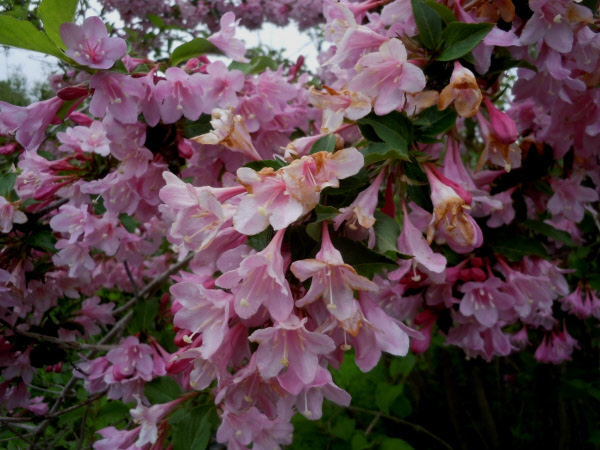 Woody ornamentals heritage flower farm mukwonago wi profuse pale to dark pink bell flowers with yellow throats grace this arching shrub in early summer mightylinksfo