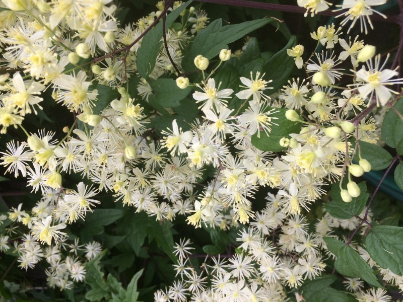 Clematis virginiana heritage flower farm clematis virginiana mightylinksfo