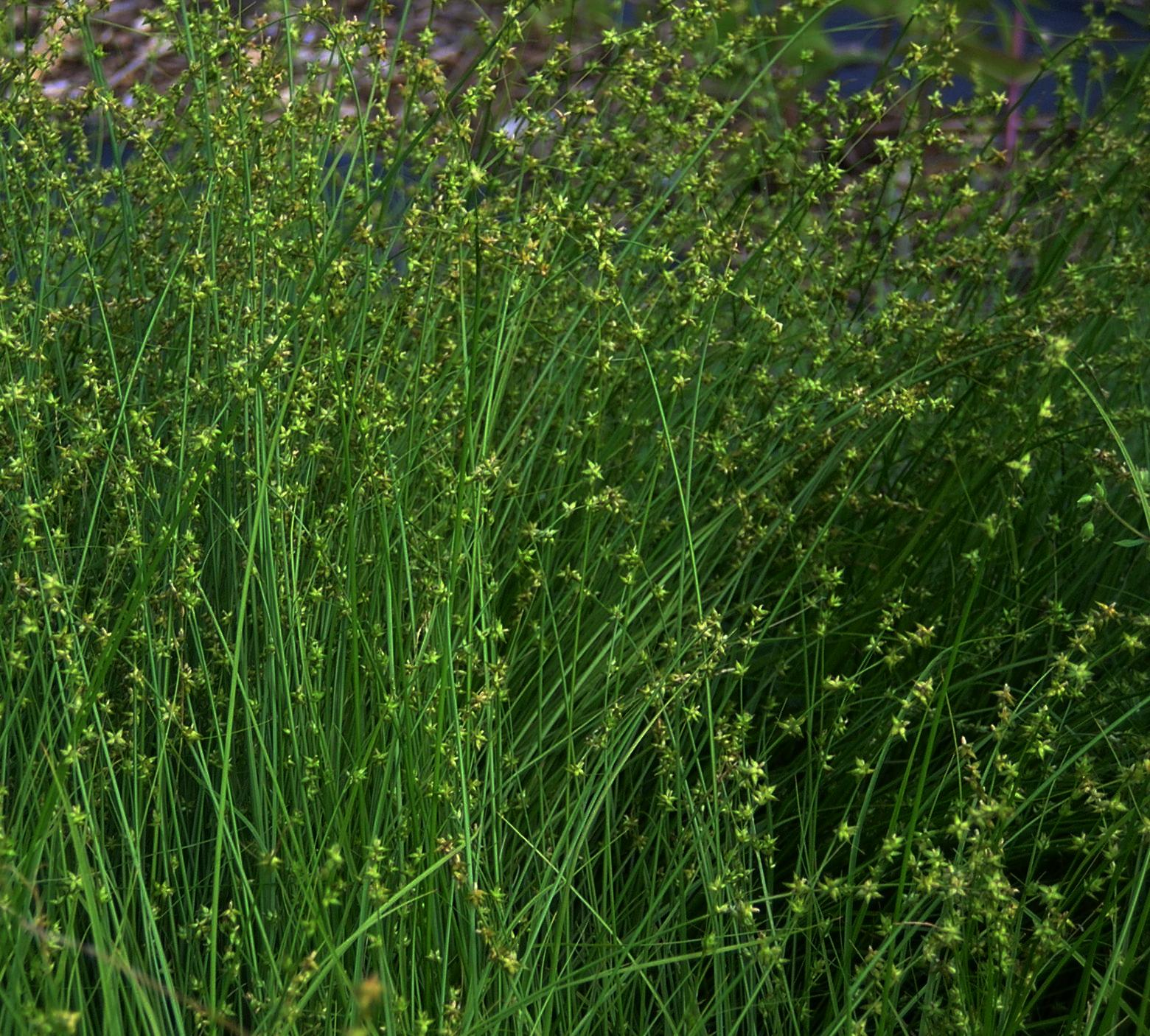 Carex Rosea Rosy Sedge Stellate Sedge Perennial Grass Z 3 9