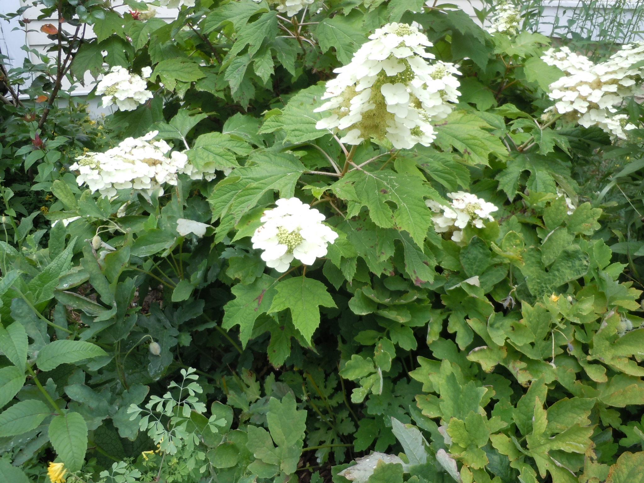 Hydrangea quercifolia oakleaf hydrangea z 5 9 heritage for Hydrangea quercifolia