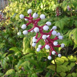 Wisconsin native heirloom plants heritage flower farm short white spike flowers in june conspicuous white berries in fall with a black dot on showy crimson stems mightylinksfo