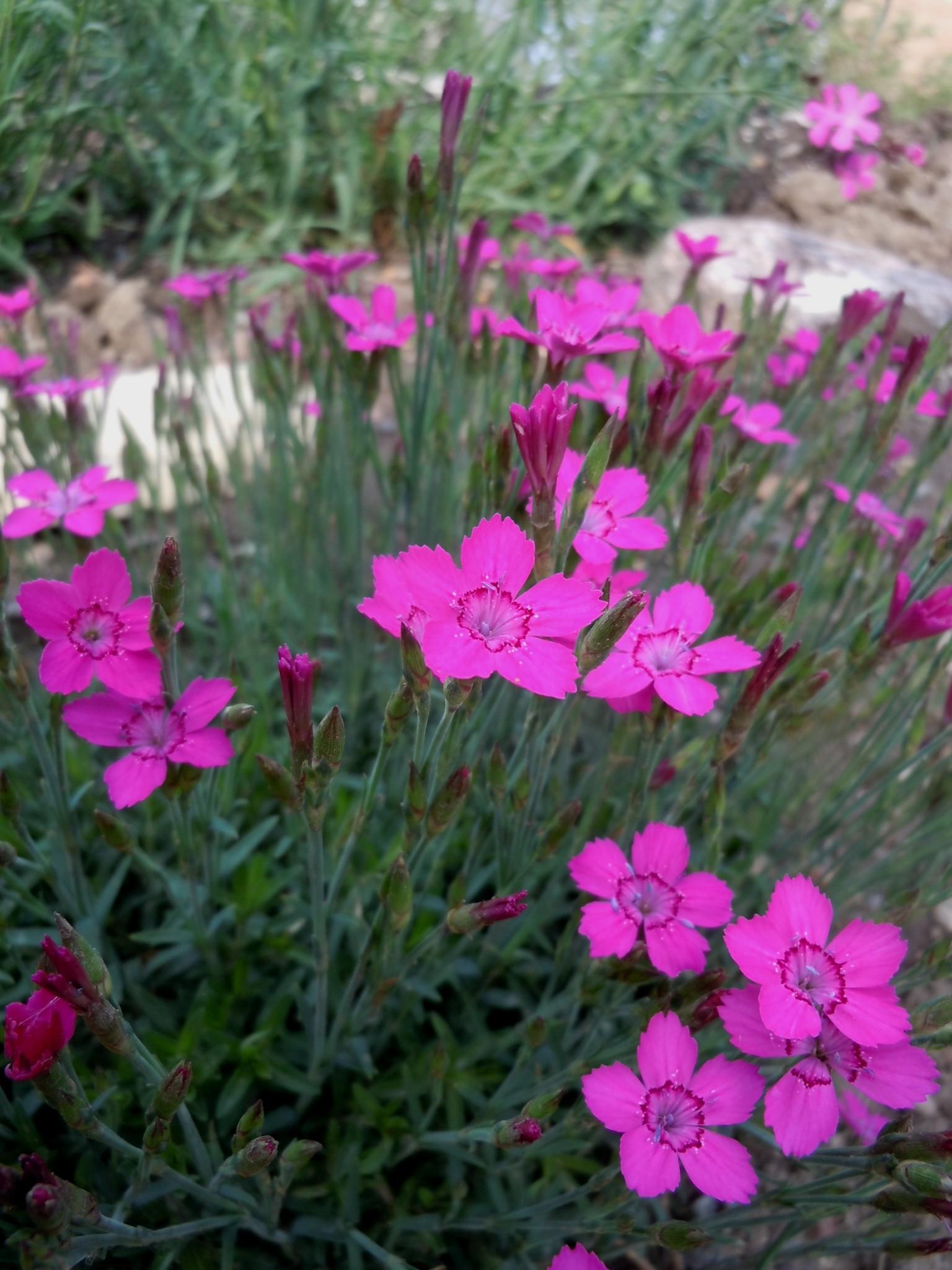 Dianthus Myrtinervius Albanina Pink Z 4 9 Heritage Flower Farm