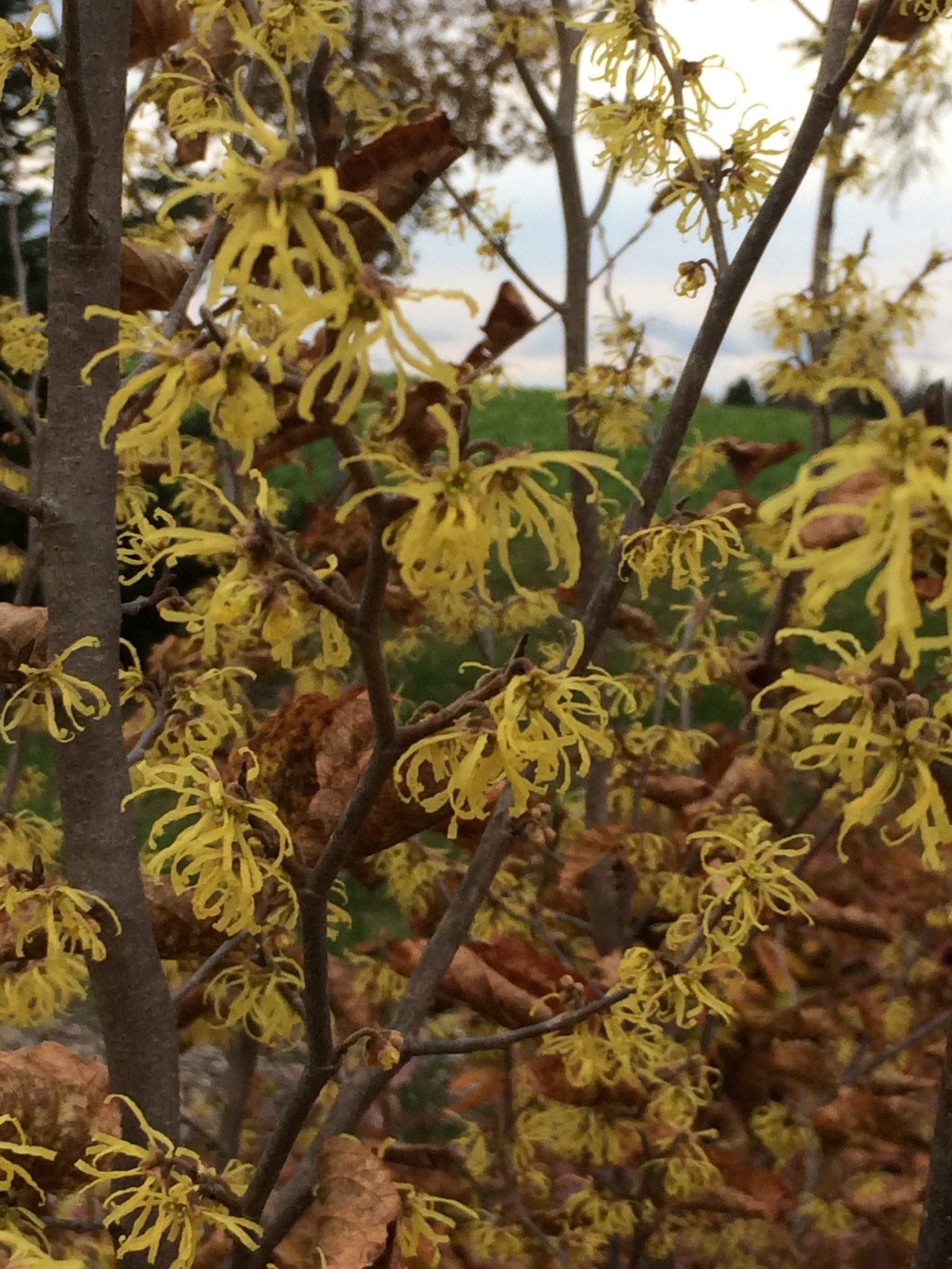 Hamamelis Virginiana Witch Hazel Z 3 8 Heritage Flower Farm